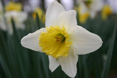 daffodil vs jonquil identification walter reeves the