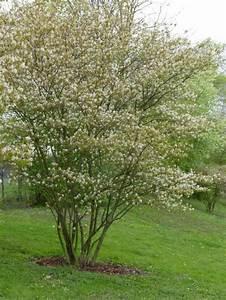 Dekorative Bäume Für Kleine Gärten : hausb ume f r kleine g rten garten pinterest kupfer felsenbirne felsenbirne und kupfer ~ Markanthonyermac.com Haus und Dekorationen