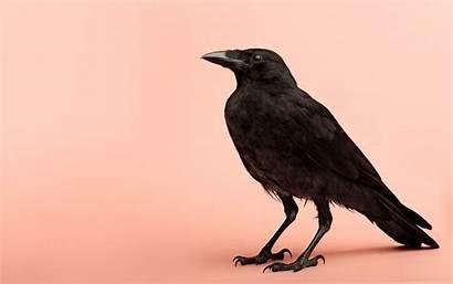 Raven Crows Desktop Crow Wallpapers 4k Animals