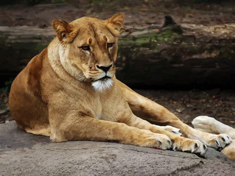 Female Lion Vector Art & Graphics Freevectorcom
