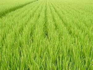 Insight: USDA Visit / Genetically Engineered Rice / UC ...