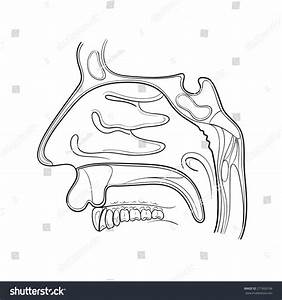 Nose Anatomy Outline Vector Illustration