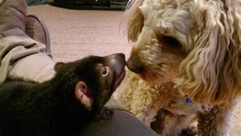 tasmanian devil develops   friendship   pet