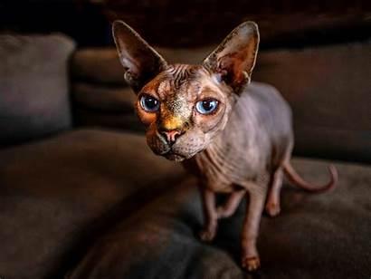 Sphynx Cat Eyes Bokeh Wallpapers