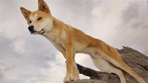 australia dingo attack  year  boy hospitalized cnn