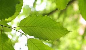 Pflanzen Bestimmen Nach Bildern : hainbuchenhecken richtig pflanzen und pflegen ~ Eleganceandgraceweddings.com Haus und Dekorationen