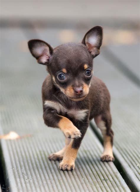 teacup chihuahua   tiny pup   choice