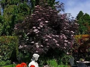 Holunder Black Beauty : die besten 25 holunderbaum ideen auf pinterest holunder pflanzen holunder und bildtafeln ~ Frokenaadalensverden.com Haus und Dekorationen