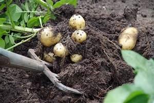 Période Pour Planter Les Pommes De Terre : quelles vari t s de pommes de terre planter gamm vert ~ Melissatoandfro.com Idées de Décoration