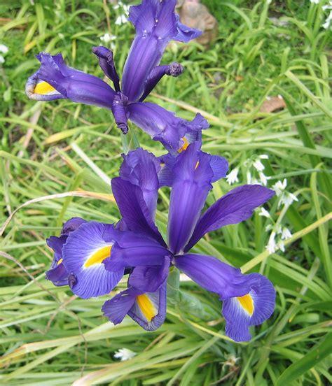 iris flower iris is a genus of species of flowering