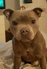 Best Pitbull Mix Ideas And Images On Bing Find What Youll Love