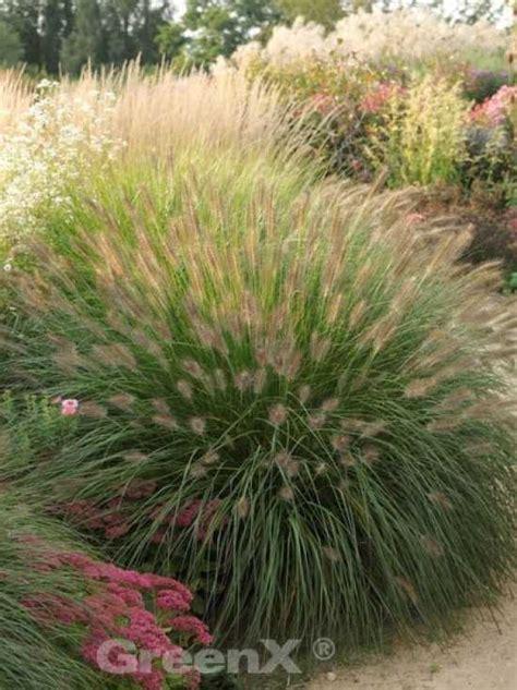 Garten Kaufen Hameln by Pennisetum Alopecuroides Hameln Garten