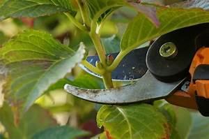 Hortensien Vermehren Wasserglas : hortensien vermehren anzucht aus stecklingen erkl rt ~ Lizthompson.info Haus und Dekorationen