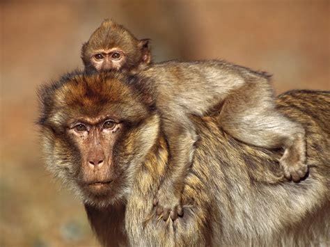 desktop nature wallpaper desktop zoo animals baboon