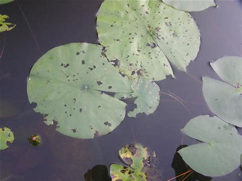 what do water lilies eat bugs eating my lily pads