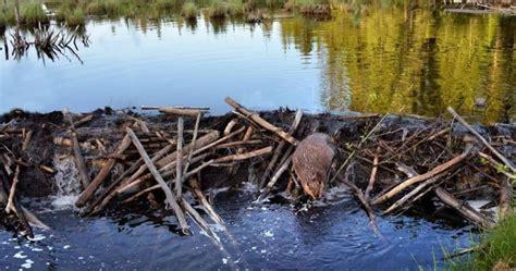 beavers turning interlake farmlands  flooded war zone cattle producer  cbc news