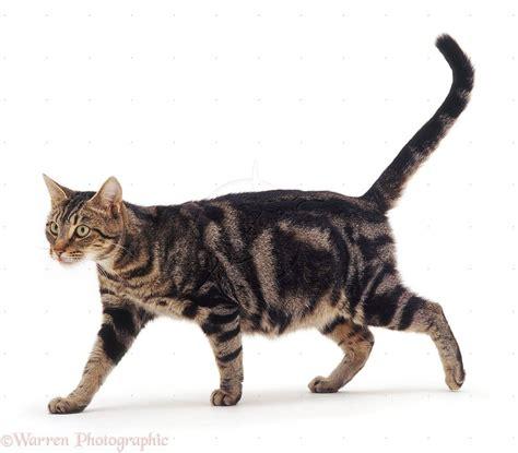 cat walking google search cats kittens cats kitten