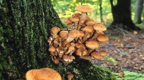 Hallimasch Pilze Im Garten by Hallimasch Bek 228 Mpfung Befall Erkennen Und Bek 228 Mpfen