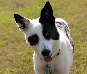 Canaan Dog - Askideas.com