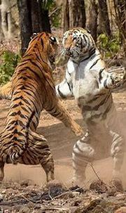 Siberian tiger vs Bengal tiger fight comparison- who will win?