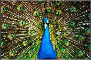 Beautiful Peacock Images |See N Explore World