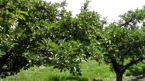 Red Delicious Apple Tree Orchard - Fruit is 60 Days Old ...