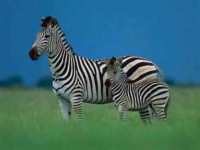 Zebra Wildlife Background Desktop Backgrounds Wallpapersafari