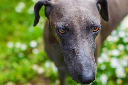 Lurcher Breed Dog