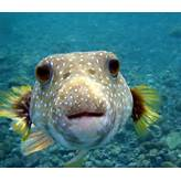 Giant Puffer Fish Images & Pictures - Becuo