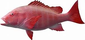 snapper fish mount