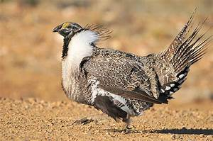 Saving the greater sage grouse, the most hotly-debated ...