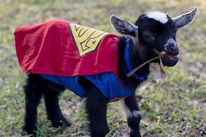 Baby Goats Dress up for Halloween - Moderately High ...