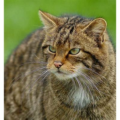 Is It Over For The Scottish Wildcat?