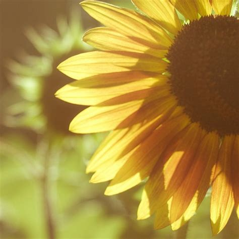 sunflower she things sunflowers heart quotes hippie flowers nature indie flower bohemian quote hipster pretty wildflower suppose fall
