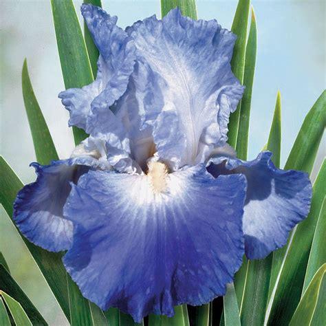 feedback reblooming iris flowers in my gardens