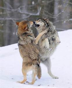 Two wolves fighting about hierarchy, Mackenzie Wolf ...