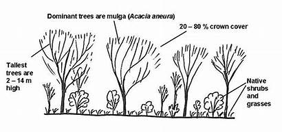 Mulga Forest Structure Trees Draw Diagram Woodland