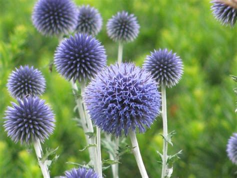 Purple Bedroom Rugs by Ornamental Thistles Amp Other Prickly Perennials