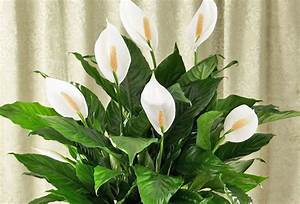 These plants are oxygen bombs and they clean the air in for Peace lily in bathroom