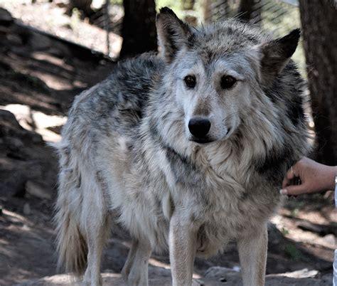 Colorado Wolf Sanctuary Closing Down