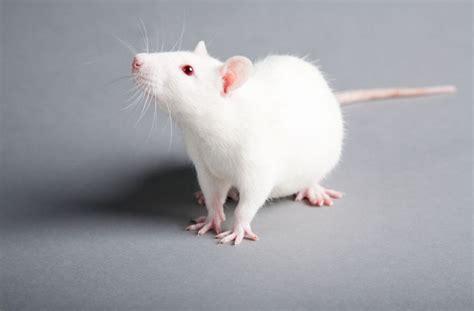 rats as pets 5 reasons why rats make lovely pets pets4homes