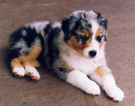 Dogs That Dont Shed Uk by Australian Shepherd Dog Breed Picture Dog Pictures Online