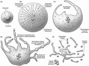 Overview Of Megakaryocyte Production Of Platelets