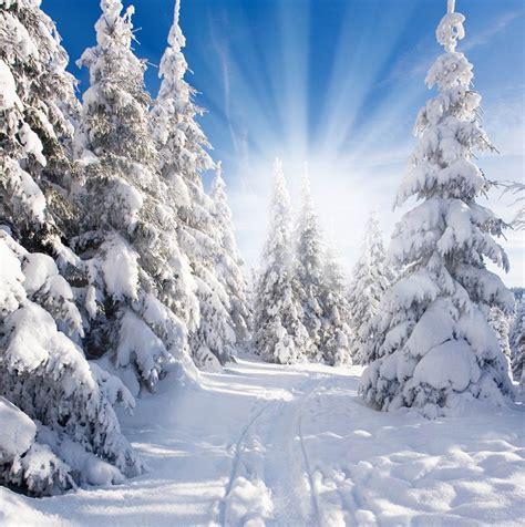 xft white snow pine forest trees sunshine winter