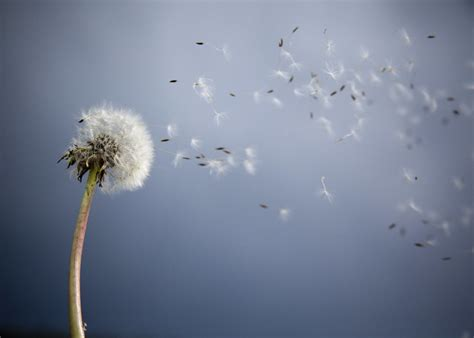 beautiful pictures  dandelion flowers