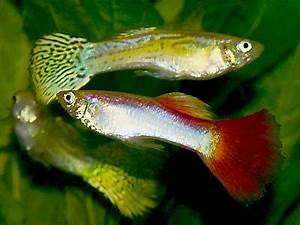 Guppy Compatibility Chart Livebearer Fish Guppies Mollies Platy Swordtails Four