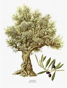 les 25 meilleures idees de la categorie arbre olivier sur With dessiner plan de maison 16 arbre olivier