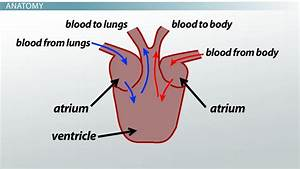 Three-chambered Heart  Definition  U0026 Anatomy