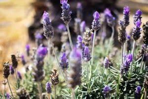 Pflanze Lila Blätter : kostenlose bild licht blau blumen wiese pflanze ~ Eleganceandgraceweddings.com Haus und Dekorationen