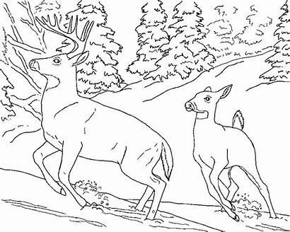Coloring Realistic Pages Animal Deer Buck Doe
